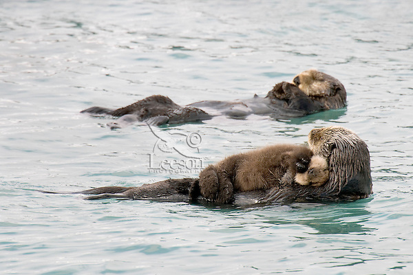 Alaskan or Northern Sea Otter (Enhydra lutris) mother and pup