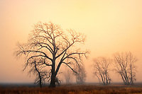 Plains cottonwood (Populus deltoides) in fog st sunrise, , Manitoba, Canada