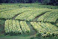 Tobacco farming, rhythmic rows of yellow and green plants #5131. Virginia.