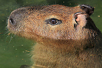 Capybara (Hydrochoerus hydrochaeris) in the water in the zone Guyane of the new Parc Zoologique de Paris or Zoo de Vincennes, (Zoological Gardens of Paris or Vincennes Zoo), which reopened April 2014, part of the Musee National d'Histoire Naturelle (National Museum of Natural History), 12th arrondissement, Paris, France. Picture by Manuel Cohen
