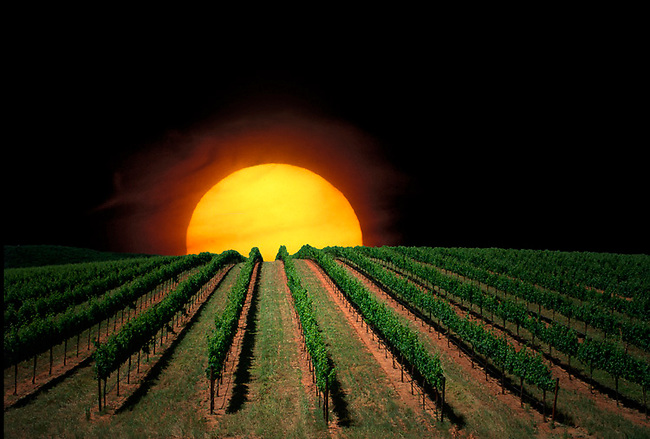 Vineyard with large sun