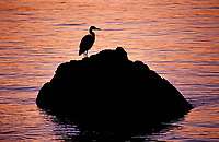 A Great Blue Heron standing on a rock is silhouetted by colorful sunset light in Puget Sound, Washington State.