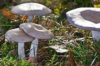 Violetter Rötelritterling, Nackter Rötelritterling, Lepista nuda, Clitocybe nuda, Tricholoma nudum, wood blewit, blue stalk mushroom, Wood Blewit mushroom