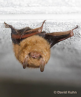 0411-1002  Little Brown Bat (syn. Little Brown Myotis), Myotis lucifugus  © David Kuhn/Dwight Kuhn Photography.