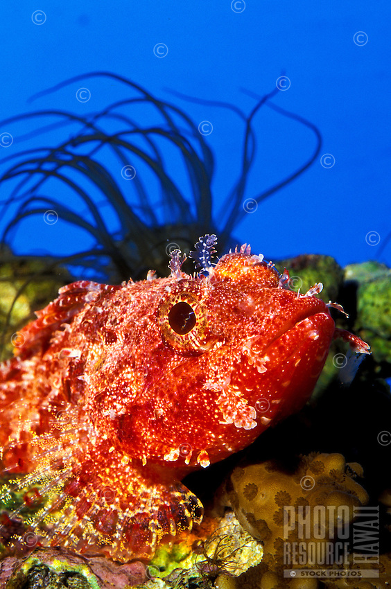 The Decoy Scorpion fish (Iracundus signifer) is a master of disguise.This photo taken at the Waikiki Aquariium.