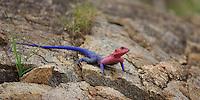 Agama lizard on a kopje