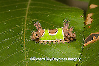 04008-002.03 Saddleback Moth caterpillar, (Sibine stimulea) Effingham Co. IL