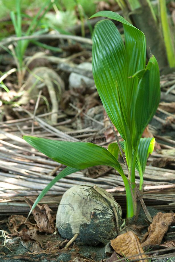 Kokuspalm (Cocos nucifera)Kokospalm (Cocos nucifera)