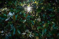 A magnolia tree offers shade from green leaves with white flowers while the sun peeks through creating a sunburst.