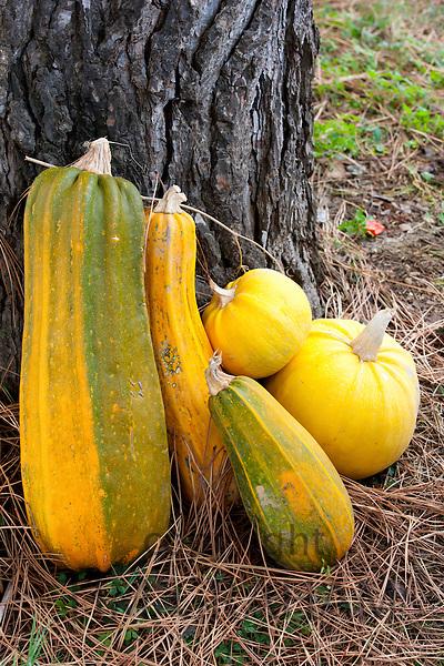 Marrow, squash, pumpkin at La Fornace Azienda Agricola at Montalcino in Val D'Orcia, Tuscany, Italy