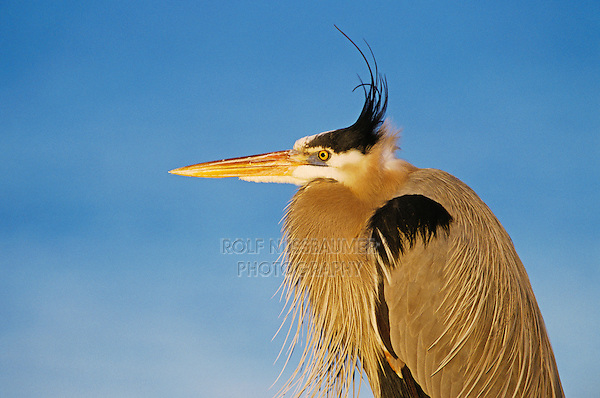 Great Blue Heron, Ardea herodias, adult, Rockport, Texas, USA