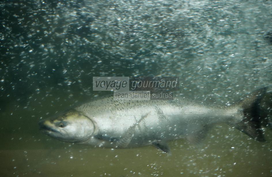 USA/Etats-Unis/Alaska/Juneau : Saumon de l'Alaska