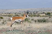 Pronghorn Antelope, Fort Davis, Texas