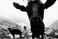 Switzerland. Canton Ticino. Verzasca valley. Fornaà Alp. The Nera Verzasca goats are the local traditional animals. MIchele Sonognini milks the goat. Season spent by the goats in mountain pastures. Swiss alpine farmers. Alps mountains peasants.  © 1994 Didier Ruef