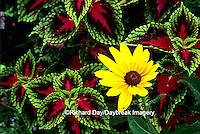 "63821-110.01  Sun Coleus (Solenostemon scutellarioides hybrid) & Black-eyed Susan (Rudbeckia hirta ""Indian Summer"")    Marion Co. IL"