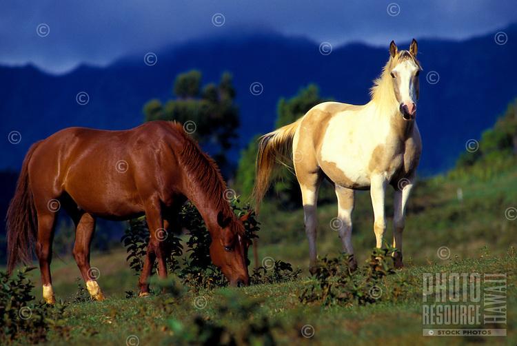 Horses, Princeville Ranch Stables, Kauai north shore. Early morning light.