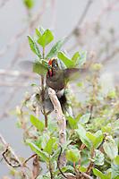 Rainbow-bearded Thornbill (Chalcostigma herrani herrani), male with wings open.
