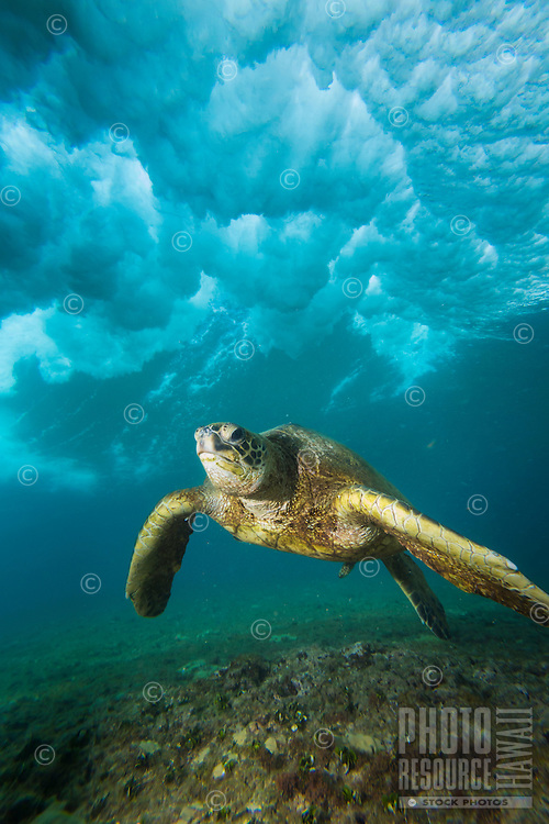 A resident green sea turtle glides under a breaking wave at Rocky Point, O'ahu.