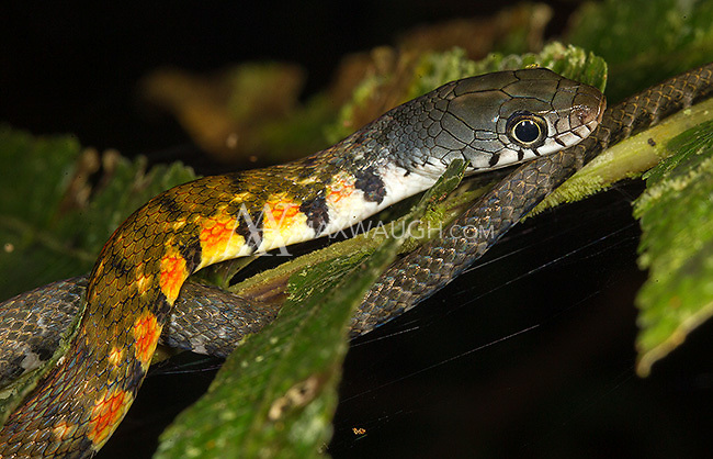 A triangle keelback snake, photographed during a night walk in Borneo.