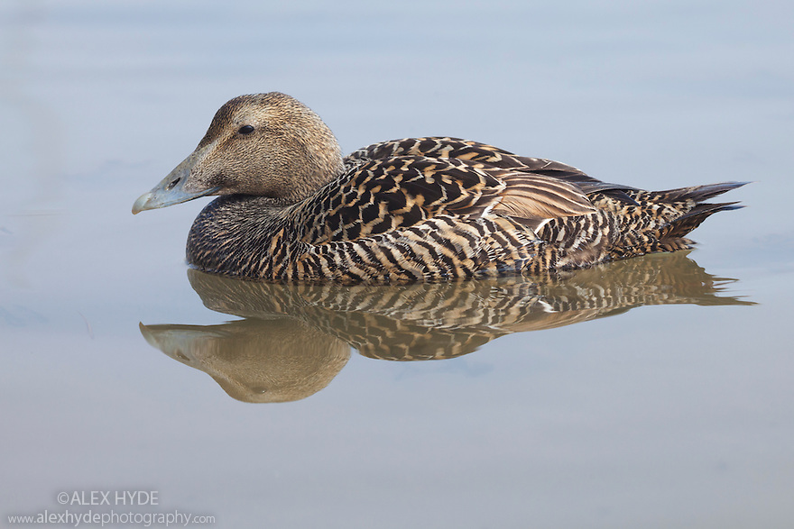 Eider duck (Somateria mollissima) swimming in coastal waters, Northumberland, UK. May.