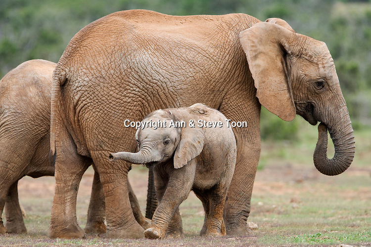 Elephant and baby, Loxodonta africana, Addo Elephant National Park, Eastern Cape, South Africa