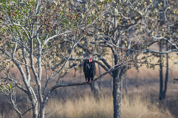 """Critially endangered Red-headed Vulture (Sarcogyps calvus) perched in a tree near a dead cow at a """"vulture restaurant."""" (Cambodia)"""