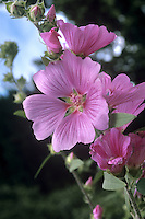 Mediterranean Mallow - Lavatera olbia (Height to 1.5m) Branched, perennial shrub; young stems downy. Leaves with 3-5 lobes and stalked. Flowers pink and 3-4cm across; brown in spike-like clusters, May-August. Favours damp, disturbed ground. Widespread in west Mediterranean.