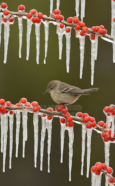 Pine Warbler (Dendroica pinus), immature female perched on icy branch of Possum Haw Holly (Ilex decidua) with berries, Hill Country, Texas, USA