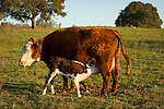 Cow No. 322 as her newborn calf begins nursing at the Stoney Creek Corrals of the Busi Ranch, Amador County, Calif.