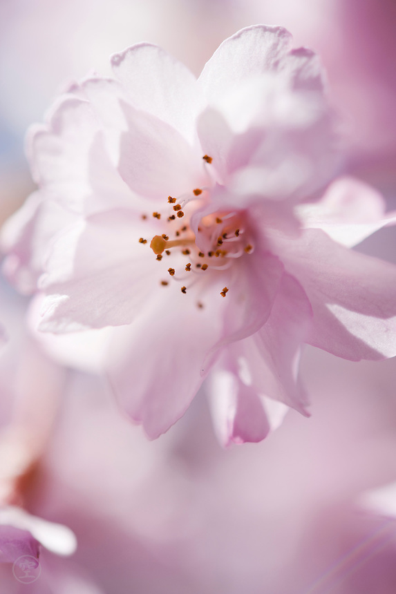 A pale pink cherry blossom against the pink of an ornamental cherry tree in spring in Japan.