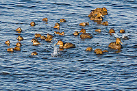 "Common Eider southern race (Somateria mollissima dresseri) hens with young and ""aunts"" (nonbreeding females who travel with ducklings and their moms to help protect from predators) gather in small flocks to sleep and feed along the Atlantic Ocean shoreline in late spring near Halifax, Nova Scotia, Canada."