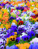 Gift card photo (set of 4) of Rainbow of colors of bunches of pansies in the Spring time.  The flower colors mimic a painting of colors on a canvas with bright, saturate tones.