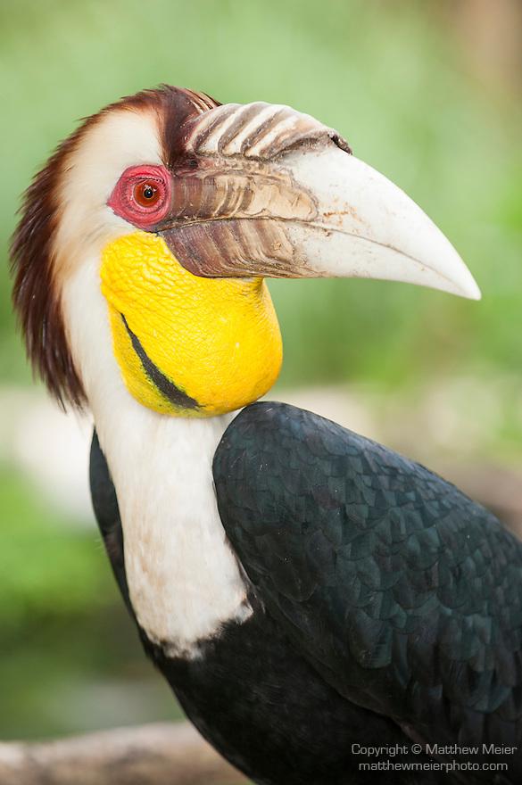 Bali, Indonesia; a wreathed hornbill (Rhyticeros undulatus)