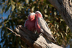 Galahs (Eolophus roseicapilla) outside its nest.