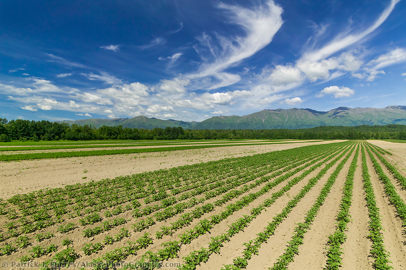 Potato plants grow in a large farm field in the Matanuska valley, Palmer, Alaska.