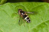 Breitband-Wald-Schwebfliege, Breitband-Waldschwebfliege, Breitband - Wald-Schwebfliege, Breitband Waldschwebfliege, Männchen, Dasysyrphus tricinctus