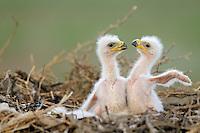 Mission:  Saiga<br /> Steppe eagle chicks, Cherniye Zemly (Black Earth) Nature Reserve, Kalmykia, Russia, May 2009<br /> Aquila rapax