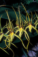 Brassia lawrenceana, Spider Orchid species. Pollinated by a parasitic female spider-hunter wasp, who tries to sting and paralyze it to bring home for food for her larvae.