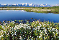 Alaska cotton, small tundra pond, Alaska mountain range, Denali National Park, Alaska
