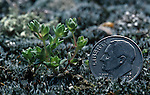 Tinytim or Earth-fruit (Geocarpon minimum), a Federally threatened or endangered species, South Central USA. The US dime indicates its small size.
