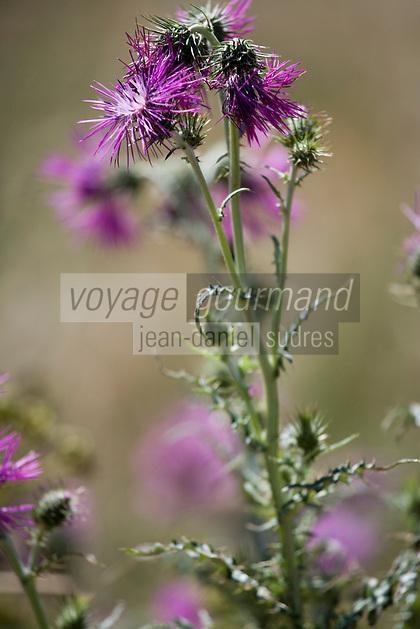 Europe/Provence-Alpes-Côte d'Azur/83/Var/Presqu'Ile de Saint-Tropez/ Ramatuelle : Flore provençale Chardon à Cap Camarat