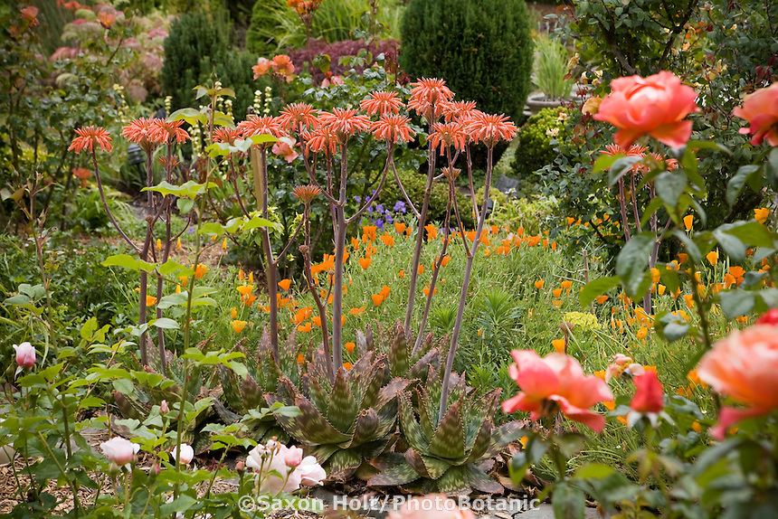 Flowering Aloe succulent in garden with poppies in cottage garden.