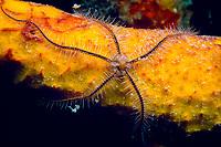 Brittlestar, Ophiothrix suensoni, on yellow tube sponge, Aplysina fistularis, Bonaire, Netherlands Antilles, Caribbean Sea, Atlantic Ocean