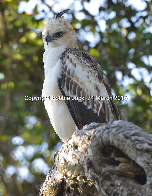 Yala National Park Sri Lanka<br /> Crested Hawk Eagle