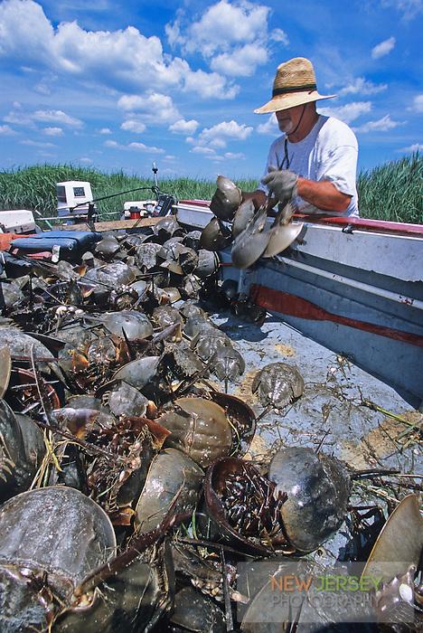 Harvesting Horseshoe Crabs, Hansey Creek, New Jersey