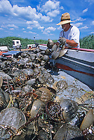 Harvesting Horseshoe Crabs, Hansey Creek, New Jersey