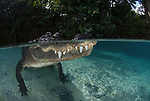 """An alligator shows off its huge teeth in these close-up underwater shots.  The 10ft-long American alligator flashed its pearly whites as it came within touching distance of a daring photographer. <br /> <br /> Shawn Jackson said swimming with the fearsome predator near the Everglades in Florida, USA, was 'incredible'.  The 40 year old professional photographer, who is from the Caribbean island of Roatan, said: """"I wanted to experience being up close and personal with an animal that is essentially a dinosaur.  SEE OUR COPY FOR DETAILS.<br /> <br /> Please byline: Shawn Jackson/Solent News<br /> <br /> © Shawn Jackson/Solent News & Photo Agency<br /> UK +44 (0) 2380 458800"""