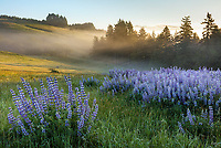 Redwood National Park, CA: Wisps of ground fog on the edge of a field of bigleaf lupine (Lupinus polyphyllus) at sunrise in the Bald Hills