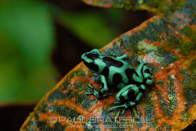 Green & Black Poison Arrow Frog (Dendrobates auratus)