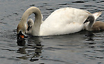 HUNTINGTON-JUNE 12, 2006: Baby Swans with a parent in the pond in Hecksher Park in Huntington on Monday June 12, 2006.  (Newsday Photo/Jim Peppler)